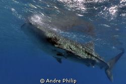 feeding whaleshark on the surface by Andre Philip 